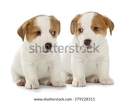 Two Jack Russell Terrier puppies isolated on white background. Front view, sitting.
