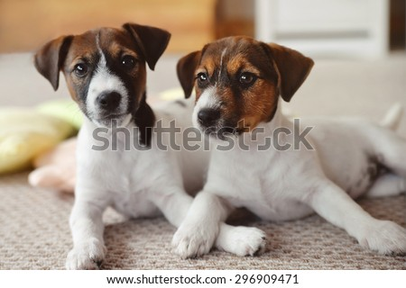 two Jack Russell Terrier puppy at home interior - stock photo