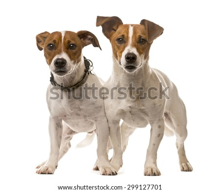 Two Jack Russell Terriers in front of a white background - stock photo