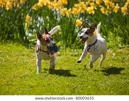 Two Jack Russell terriers playing fetch with a ball, running towards camera on a lawn in spring with daffodils in the background.