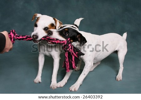 Two Jack Russell Terriers pulling on a rope toy
