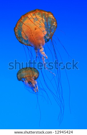 Two Jellyfish - Sea nettles  (Chrysaora quinquecirrha) - stock photo
