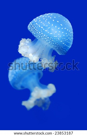 Two jellyfishes in sea water
