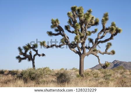 Two Joshua Trees, Yucca brevifolia, Joshua Tree National Park, California, USA - stock photo