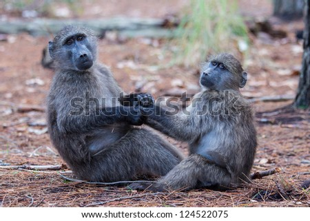 Two juvenile baboons holding each other - stock photo