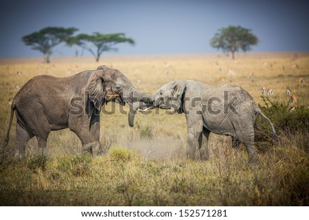 Two juvenile elephants playfully fight over stick - stock photo