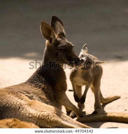 two Kangaroo - stock photo