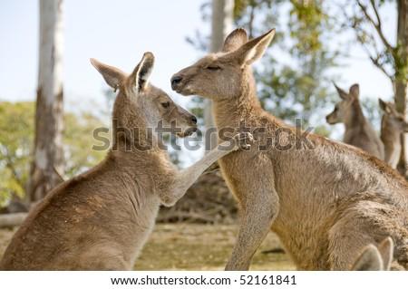Two kangaroos in an animal farm in Australia - stock photo