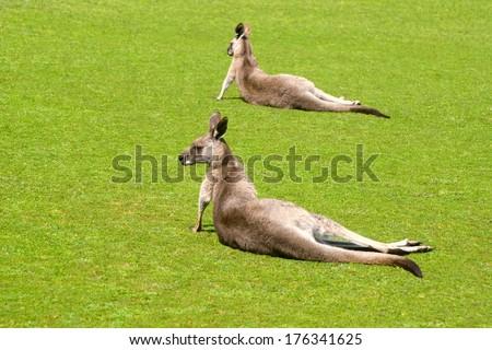 Two kangaroos in Phillip Island Wildlife Park - stock photo