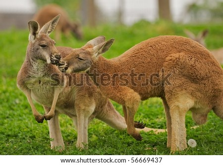 Two kangaroos sharing a clover in a field. - stock photo