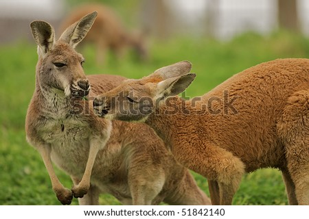 Two kangaroos sharing a clover together. - stock photo