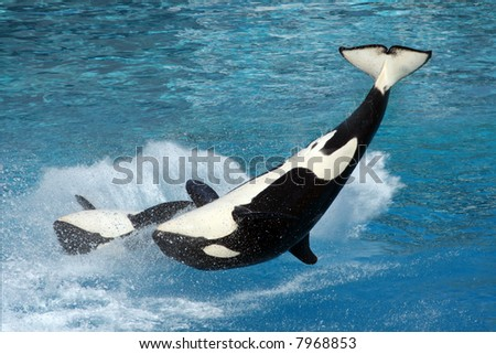 Two killer whales flipping in the water - stock photo