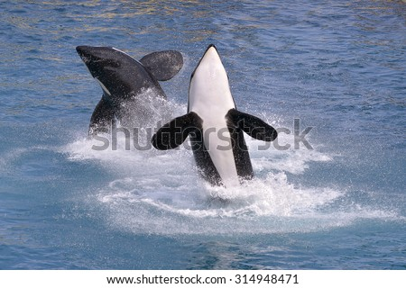 Two killer whales (Orcinus orca) jumping out of blue water - stock photo