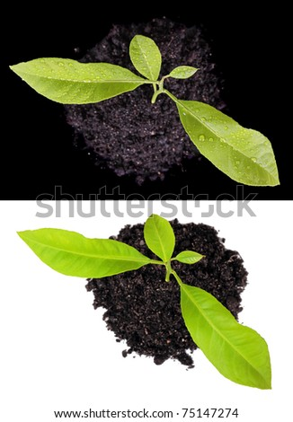 Two kinds on a plant from above, it is isolated on a white and black background - stock photo