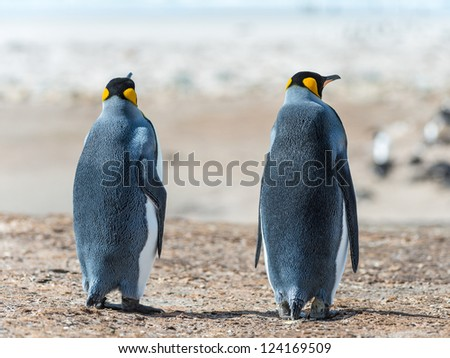 Two KIng penguins. Sight from the back.  Falkland Islands, South Atlantic Ocean, British Overseas Territory - stock photo