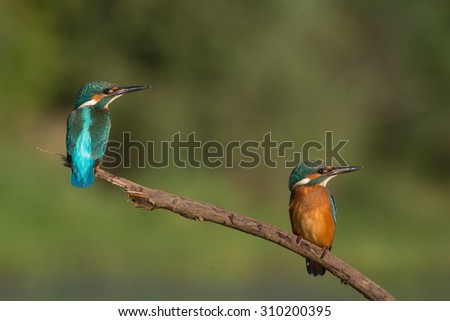 Two Kingfishers sitting on a branch