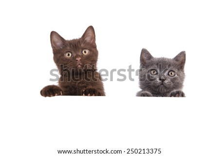 Two Kitten British chocolate brown and blue on white background. Cat peeking from behind. Two months. - stock photo