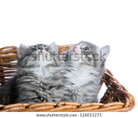 two kitten looking up on white background