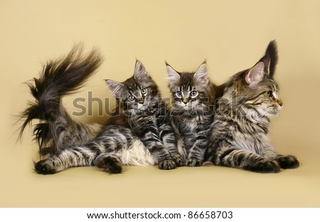 Two kitten maine coon with mother - stock photo