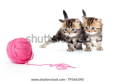 two kitten pure breed striped british isolated with red clew - stock photo