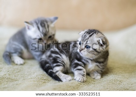 Two kitten scottish fold breed lying on the bed - stock photo