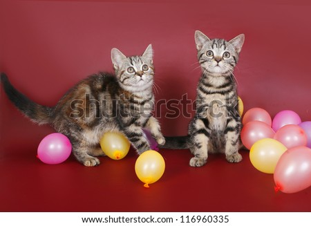 Two kitten with balloons on burgundy background.