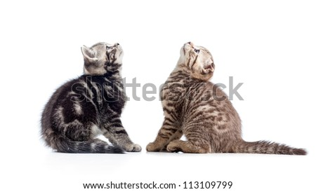 two kittens cats sitting opposite and looking up - stock photo