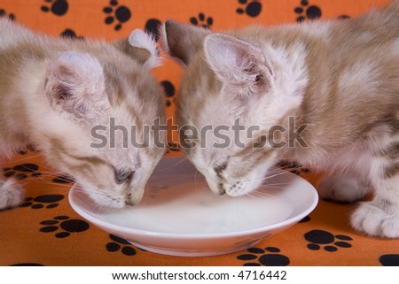 Two Kittens drinking milk from saucer on orange background with pawprints