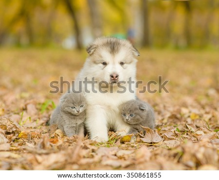 Two kittens sitting with alaskan malamute puppy in autumn park - stock photo