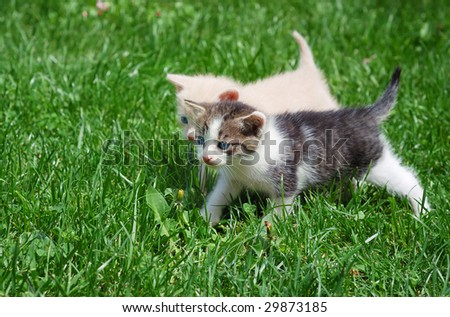 Two kittens with blue eyes walking through grass. - stock photo