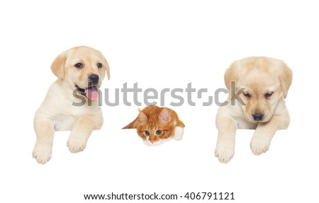 two labrador puppy and red cat looks