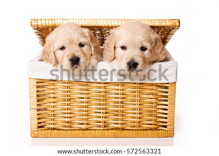 Two labrador puppy in a basket (isolated on white)