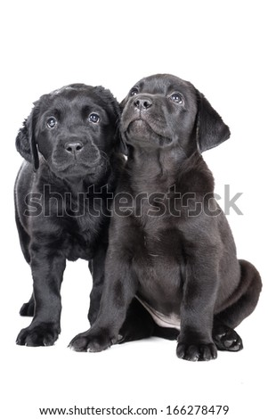 two labrador puppy on a white background in studio - stock photo