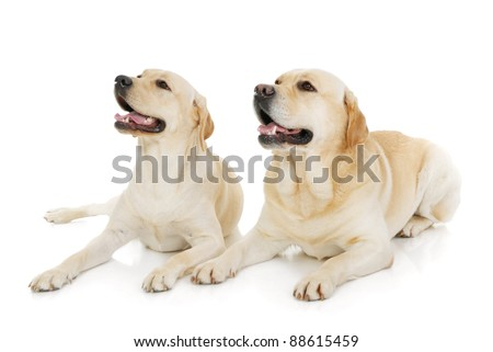 Two Labrador Retriever dogs isolated on a white background