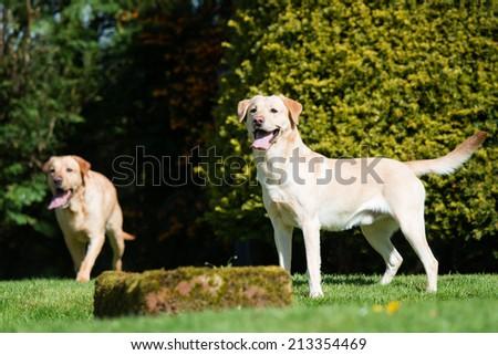 Two labrador retriever dogs playing in the garden - stock photo
