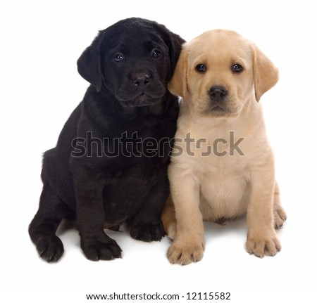 Two Labrador Retriever puppies leaning on one another on a white background.