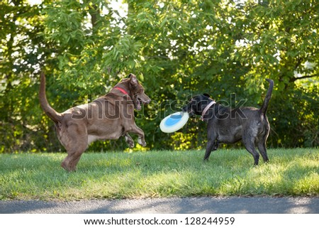 Two labrador retrievers playing with a plastic disc toy at a park - stock photo