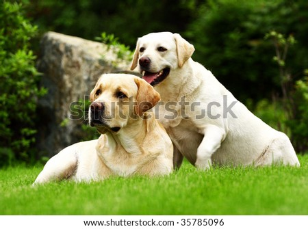 Two Labradors - stock photo