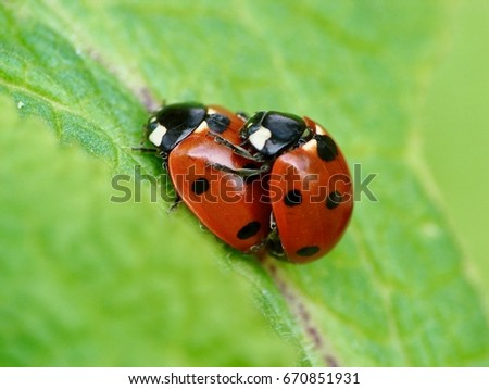 Two ladybugs - close up