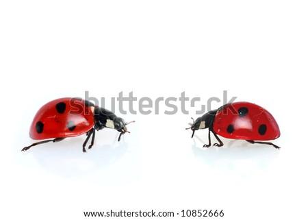 Two ladybugs isolated  on white background - stock photo