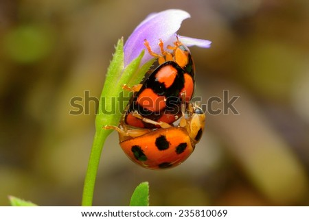 Two ladybugs on flower - stock photo