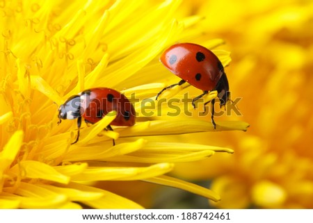 Two ladybugs on the petals of a dandelion macro  - stock photo