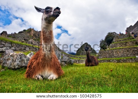Two lamas sitting on the grass at the ancient city of Machu Pichu, Peru