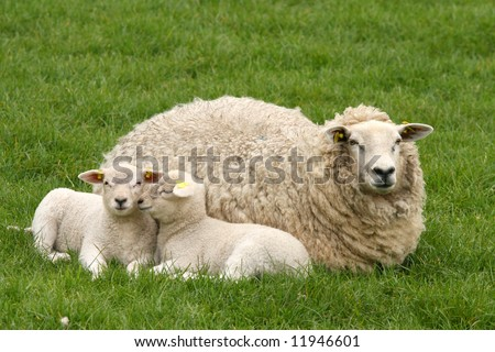 Two lambs and mother sheep laying in the grass - stock photo