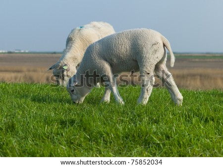 Two lambs grazing in a fresh green field - stock photo