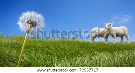 Two lambs grazing on green meadow - stock photo