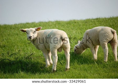 two lambs grazing on the meadow in the countryside - stock photo