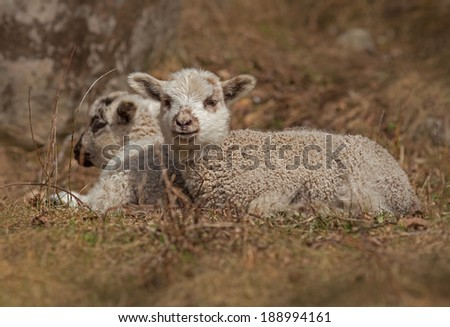 two lambs in the grass,