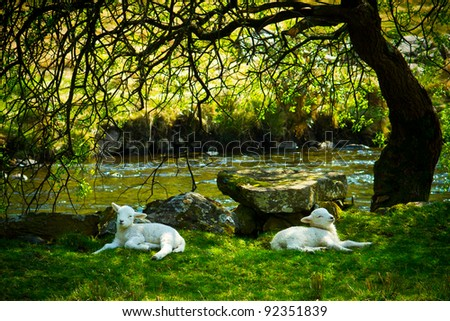 Two lambs resting under a tree in sunshine - stock photo