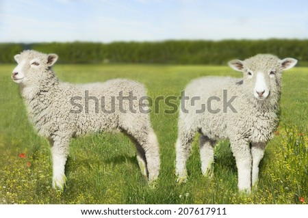Two lambs standing in the field